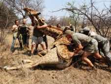 Giraffe Capture