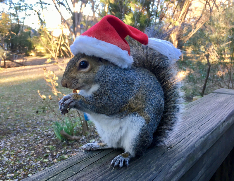 Momma Squirrel in Santa hat