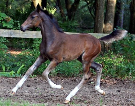 Faro foal