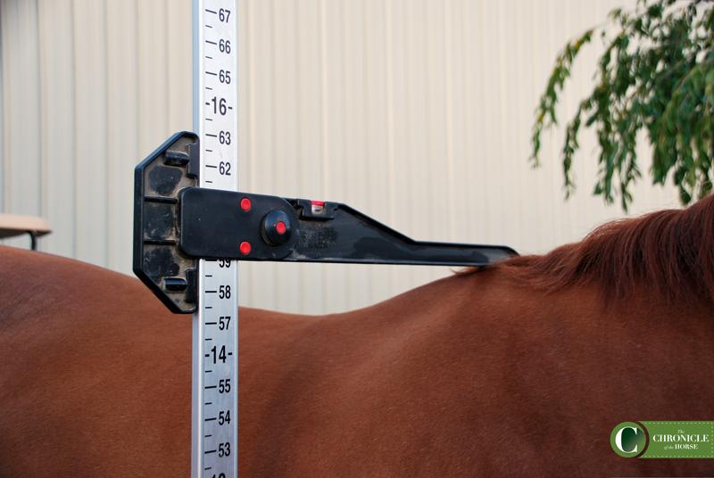Alex Beckstett measuring her hony. Oversized pony.