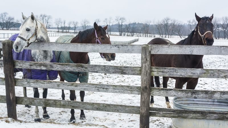 Three horses by a fence and water trough in winter.